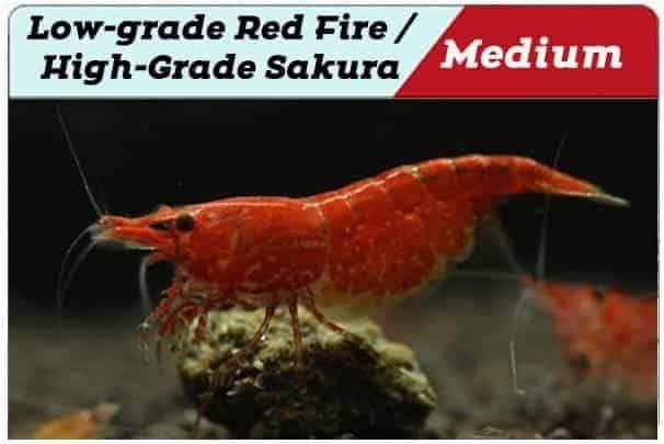Red Cherry Shrimp Grading With Pictures Shrimp And Snail Breeder Cherry Shrimp Red Cherry Shrimp Shrimp