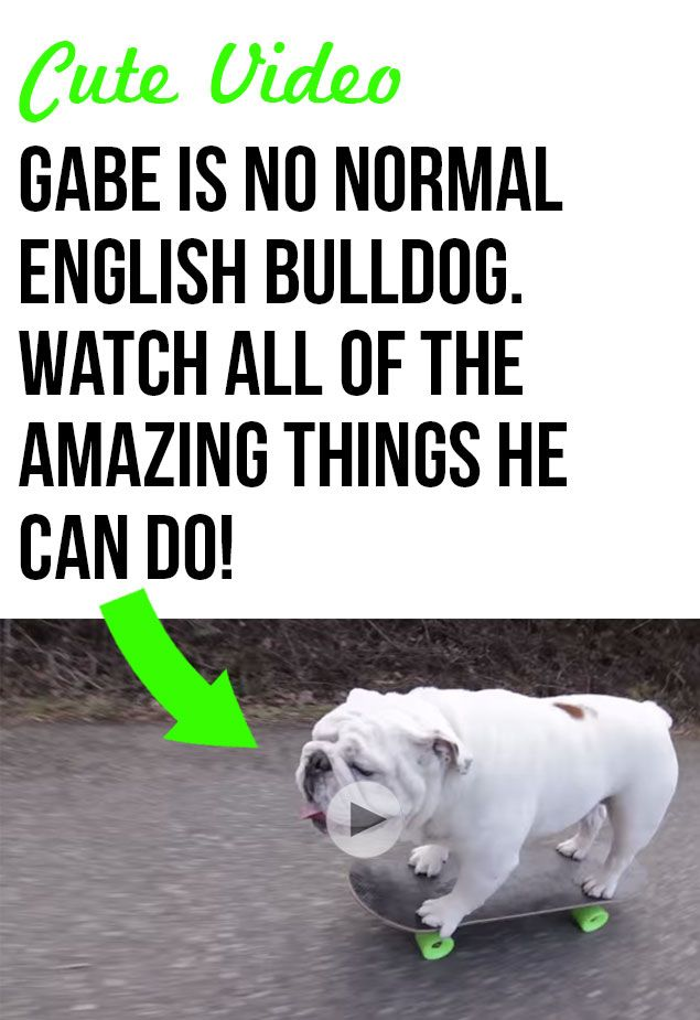 Gabe is one smart English Bulldog! I can't believe all of the tricks he can do! #pets #bulldogs