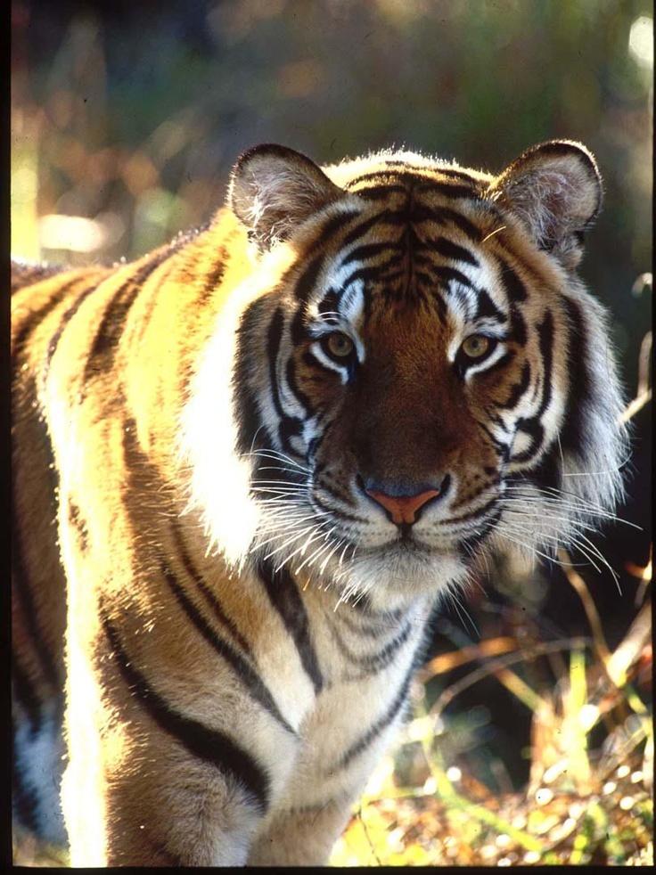 Tiger Island, Dreamworld Tiger, Pets cats, Big cats