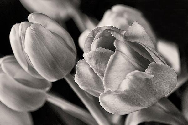 Petal Essence - Tulips