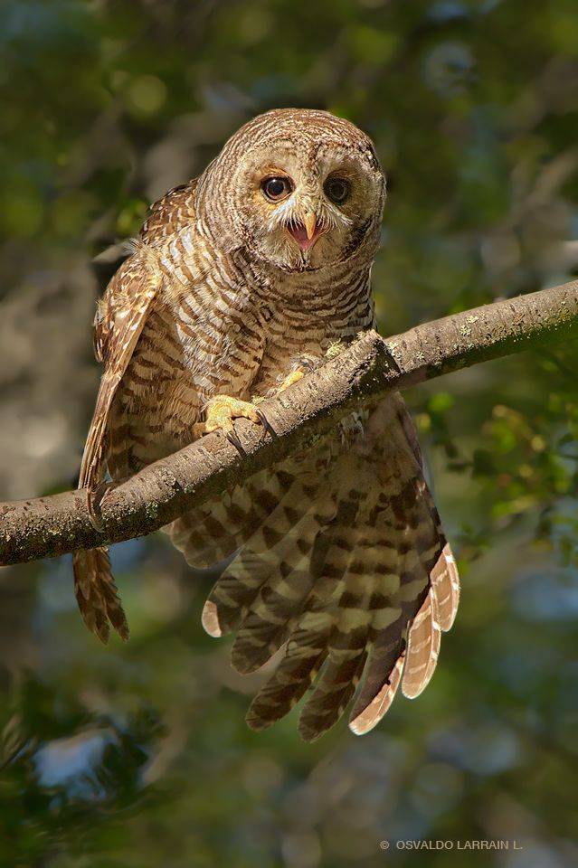 Strix rufipes, Rufous-legged owl, Patagonia, Chile