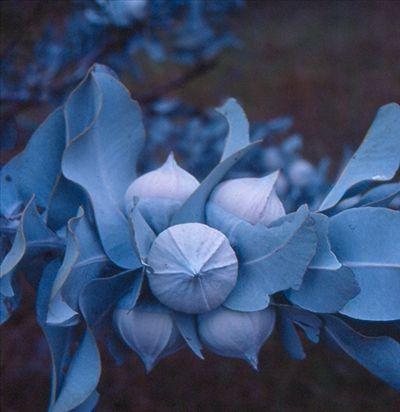 http://www.australianplants.com/images/photos/Eucalyptus_macrocarpa_2.jpg