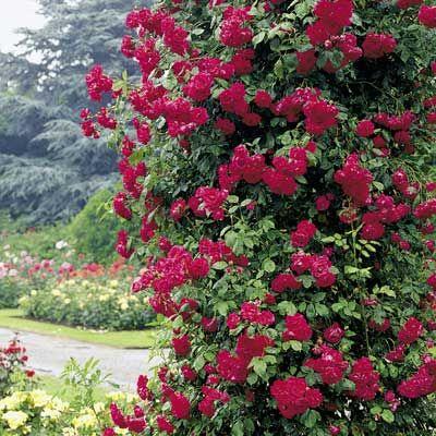 foto de #2 climbing rhode island red rose The Climbing Rhode Rose