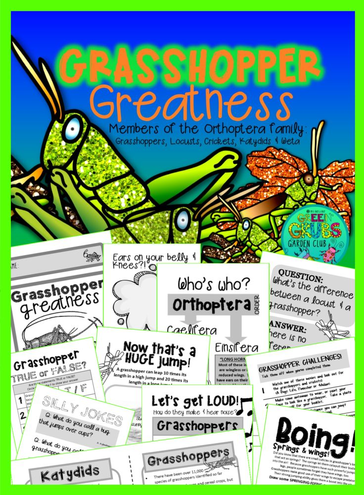Can you imagine having your ears located on your belly or knees?! Grasshoppers and crickets don't have to imagine, because that's exactly where they are! This 48 page 'fun and facts' mini booklet is designed to immerse you in all thing celebrating the amazing grasshopper and its orthopteran friends (Crickets, katydids and weta)