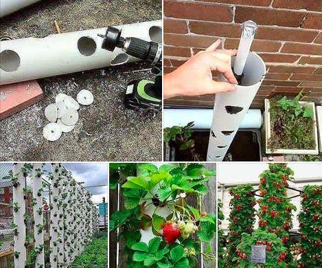 Pour gagner de la place et facilité la cueillette, rien de tel que des fraisiers verticaux. Il vous faudra pour cela quelques tubes en PVC et une perceuse.                                                                                                                                                                                 Plus