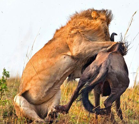 Lion kills wildebeest in Kenya in less than a minute