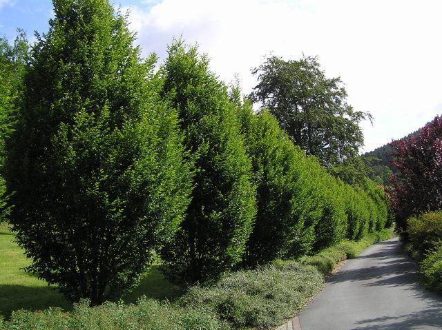 baumschule eggert bl tenstr ucher baumschulen heckenpflanzen carpinus betulus fastigiata. Black Bedroom Furniture Sets. Home Design Ideas