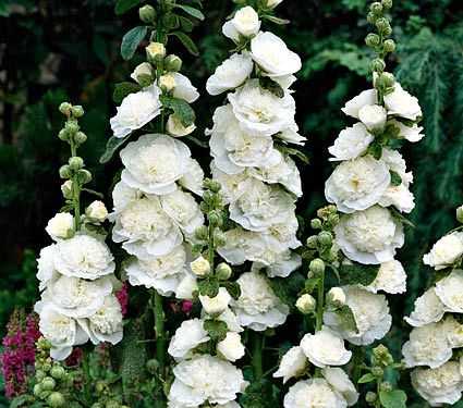 "NEW! Alcea Chater's Double White - White Flower Farm  Quick Facts Common Name: Hollyhock Hardiness Zone: 3-7 S / 3-10 W Height: 6-8' Exposure: Full Sun Blooms In: June-Aug Spacing: 18-24"" Ships as: 3"" Plastic Pot - 25.8 cu. in. Read our Growing Guide"