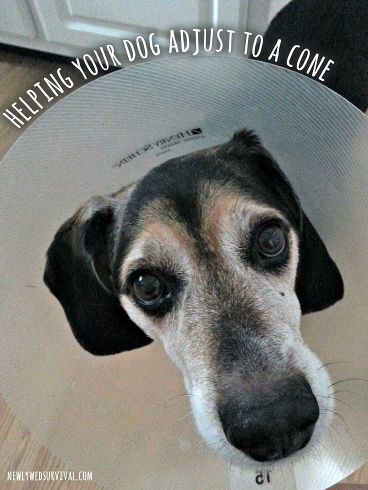 Helping your dog adjust to a cone collar after surgery #BrightMind #CollectiveBias [ad] @petsmartcorp