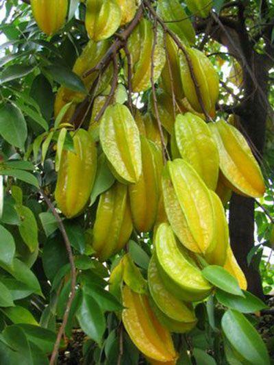 Philippines Fruit Siniguelas
