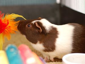 Guinea Pigs is an adoptable Guinea Pig Guinea Pig in Carlsbad, CA. There are 4 guinea pigs for adoption at the North location.  One is black, one is white, one is brown and white (all short-haired), a...