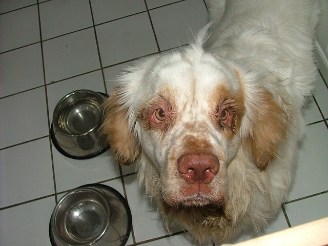 Murphy is the first Clumber Spaniel I ever walked and boy did he have a personality! He used to spin in the kitchen with his awkwardly long and adorable body clumsily. He was a sweet boy but moved to Connecticut so I don't get to see him anymore sadly.     #spaniel #dogwalking #dog #pooch #hound #clumberspaniel #NYC    Need a dog walker in NYC on the Upper East Side? How about a sitter? Drop me a line! http://jamiedogwalker.blogspot.com/