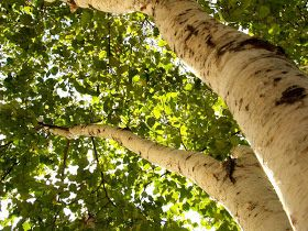 Birches-- provide nitrogen fixation, source of useful bark, sap, and hardwood