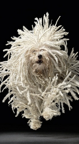 Hungarian puli - I'm starting to think Hungarian animals have the most awesome fur in the world! ~G