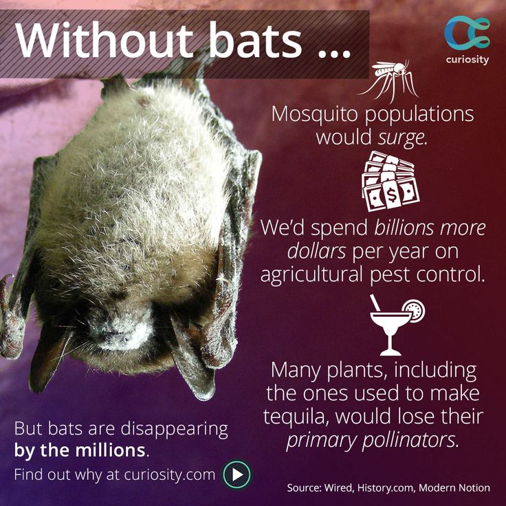 Not to mention the fruit bats pollination keeping vegetation flourishing. Find out why the U.S. bat population has declined by up to 80%. We NEED bats. So much more than you think.