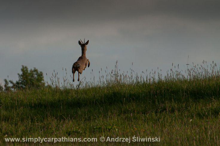 Energy! Roe deer, Podhale, Poland.
