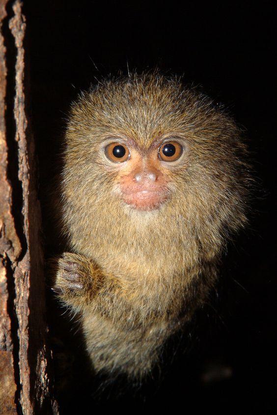El tití pigmeo, tití enano, chichico, mono de bolsillo o de piel roja, tití león o mono leoncito (Cebuella pygmaea) es una especie de primate platirrino de la familia Callitrichidae. Se caracteriza por su diminuto tamaño y es la especie de mono del Nuevo Mundo más pequeña.