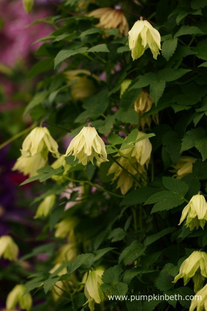 Clematis koreana AMBER ('Wit141205') is the winner of the RHS Chelsea Flower Show Plant of the Year 2016.