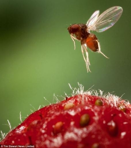 Researchers use fruit flies to unlock mysteries of human diabetes