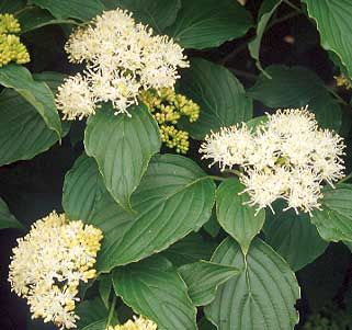 Pagoda Dogwood | Department of Horticulture
