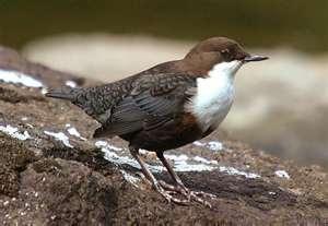 Dipper - Norway's National Bird