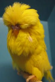 Image result for english budgerigars