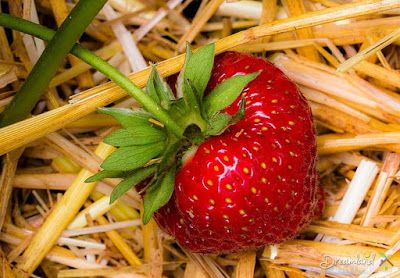 How to Reproduce, Strawberry plants care