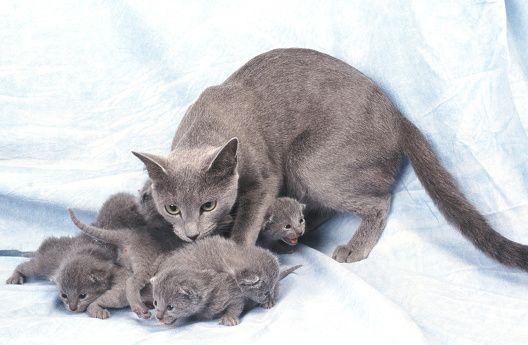 Jak założyć hodowlę kotów?