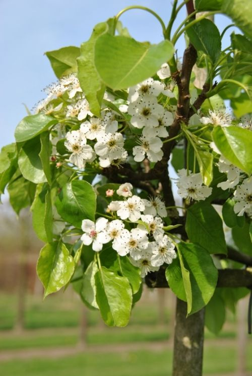 Pyrus calleryana 'Chanticleer' #flowering #tree #trees www.vdberk.co.uk