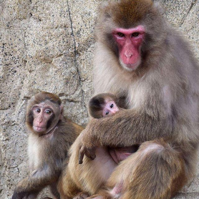 asahiyamazoo1 #asahiyamazoo #zoo #hokkaido #asahikawa #animal #旭山動物園 #動物園 #北海道 #旭川 #動物 #ニホンザル #さる山 #親子 旭川市旭山動物園(Asahiyama Zoo) 2017/06/05 17:38:04