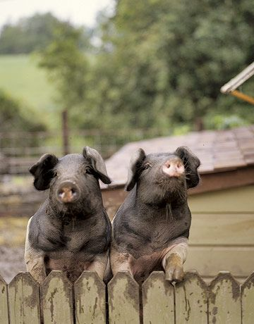 oh my these are Jennifer Lanne's piggies Olive & Violet...however did they end up on Pinterest??? This shot was in a Country Living article in 2007!!!