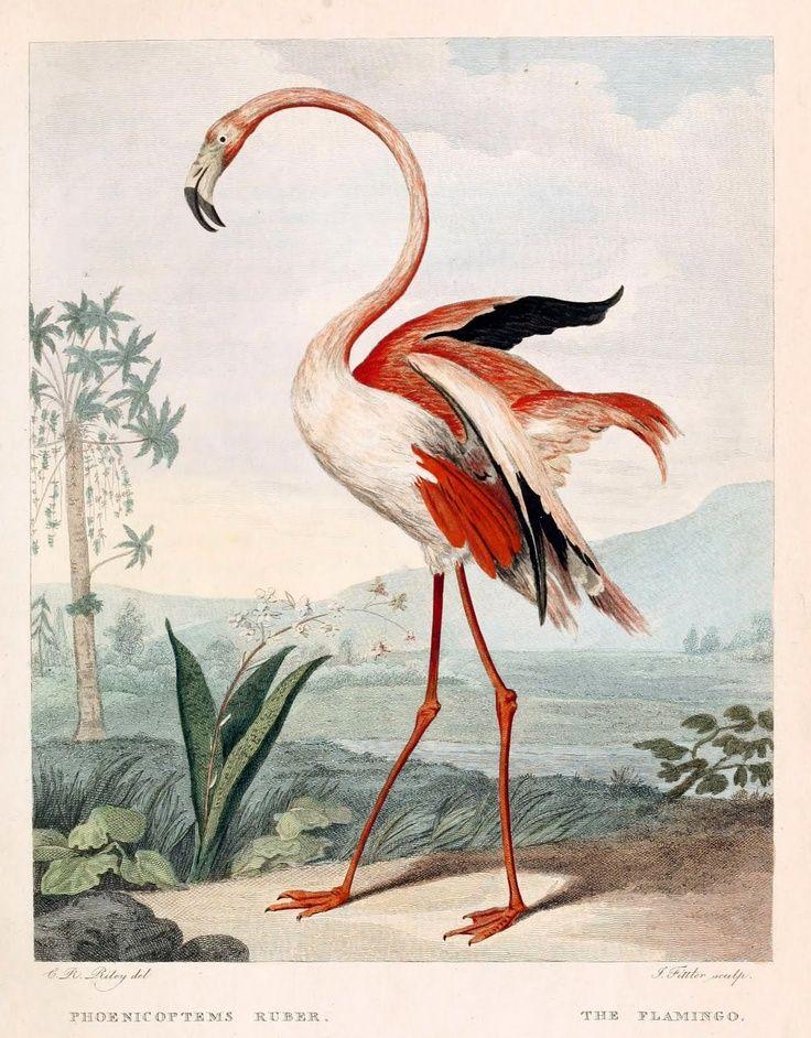 Musei Leveriani Explixatio, Anblica et Latina (1792-96) George Shaw. blog.biodiversitylibrary.org