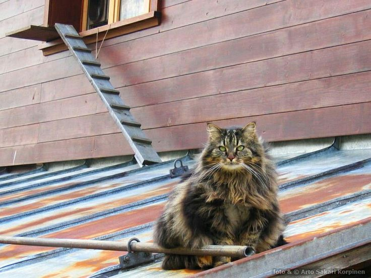Cat in Wengen, Switzerland. Photo by Arto Sakari Korpinen.