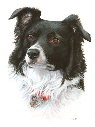 Border Collie Pet Portrait In Watercolour By Tracy Hall