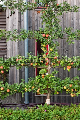 Espalier? Is That The Right Name For This?