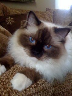Some Ragdoll Cats look very much like their Birman ancestors (like a fluffy Siamese).