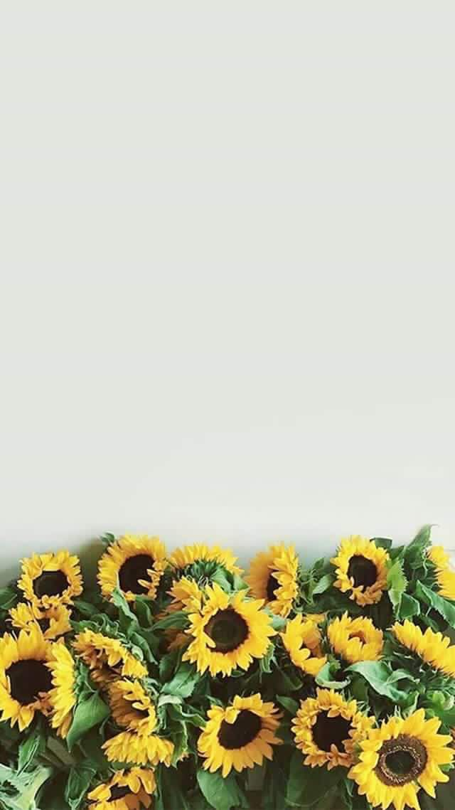 Sunflowers Sunflower Iphone Wallpaper Sunflower Wallpaper