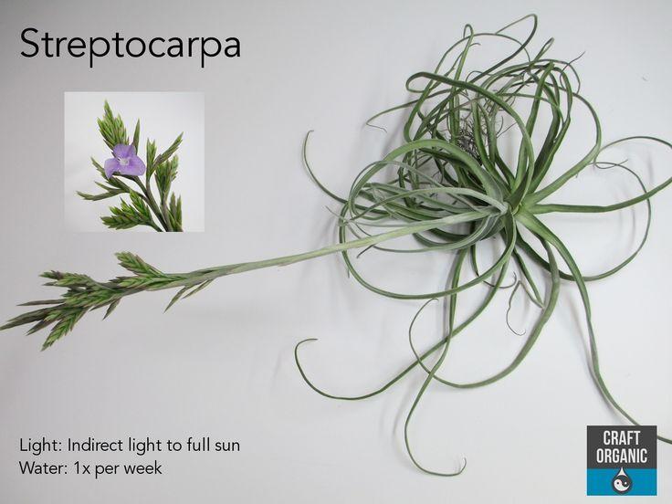 Streptocarpa
