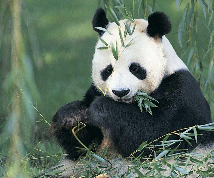 Risultati immagini per immagine wolong giant panda reserve