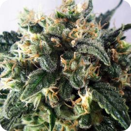 Super Cheese - strain - Positronic Seeds | Cannapedia