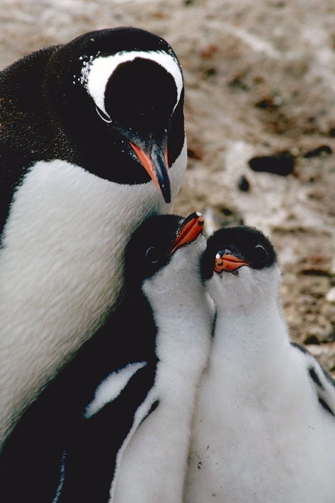 Antarctica has 12 million penguins and 5 penguin species, according to a new report released today. But at least 2 penguin species have recently and significantly declined.