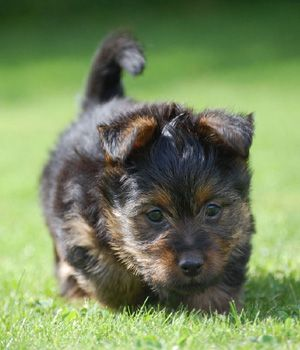 Australian Terrier puppy OH MY GOODNESS GRACIOIUS