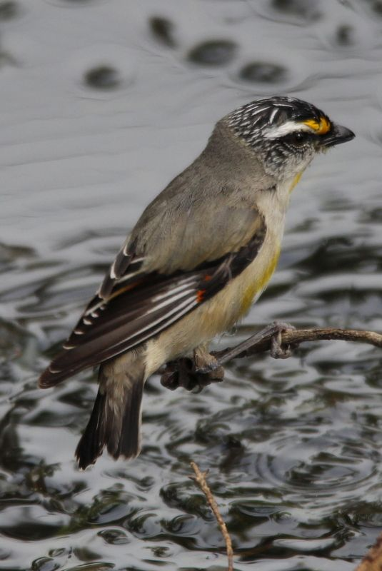 Striated Pardalote at Ocean Grove Nature Reserve, Victoria, Australia