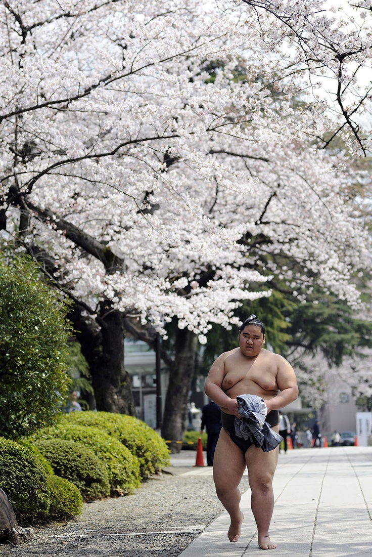 A sumo wrestler walks under cherry blossoms in full bloom on his way to a bout for the 'Honozumo', an exhibition sumo tournament at the Yasukuni Shrine precincts, in Tokyo, Japan