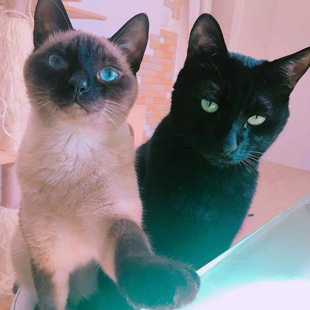 ・ ・ ちょっ💦 なんか発射ボタン押したでしょ😱💦 まぶしっ💦 ・ ・  #発射!  #お願い  #殺さないで  #真顔やめて  #きき  #ききたん  #じじまる  #じじ  #ジジ  #にゃんすたぐらむ  #にゃんだふるらいふ  #猫のいる暮らし  #猫  #ねこ  #愛猫  #猫部  #くろねこ  #クロネコ  #黒猫  #黒猫同盟  #多頭飼  #シャム猫  #シャム  #cat  #blackcat  #siamese  #siamesecat  #blueeyes  #blueeyes_kiki