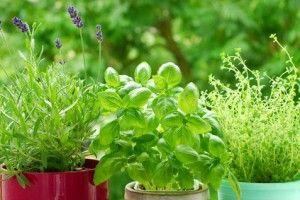 se débarrasser des pucerons ?Traitement anti pucerons naturel. Ces parasites sont repoussés par le basilic. Faite chauffer l'eau dans une casserole. Jetez-y les feuilles de basilic. Laissez chauffer pendant 20 à 30 minutes. Retirez du feu, puis filtrez. Une fois refroidi, versez votre insecticide naturel dans votre pulvérisateur. Pulvérisez toutes vos plantes. il faut 1L d'eau 30g de feuilles de basilic frais Equipements pulvérisateur de 1L un entonnoir une casserole