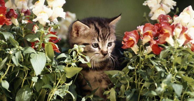 Cómo hacer que los gatos dejen de defecar sobre las flores o en el jardín. Las flores son una de las cosas más bellas del verano, y los gatos vecinos que defecan y orinan sobre ellas y sobre otras áreas de tu jardín son una molestia. Mientras que parece que no tienes control sobre los gatos callejeros o incluso sobre los de tus vecinos, que tienen permitido deambular por donde les plazca, hay métodos seguros que puedes ...