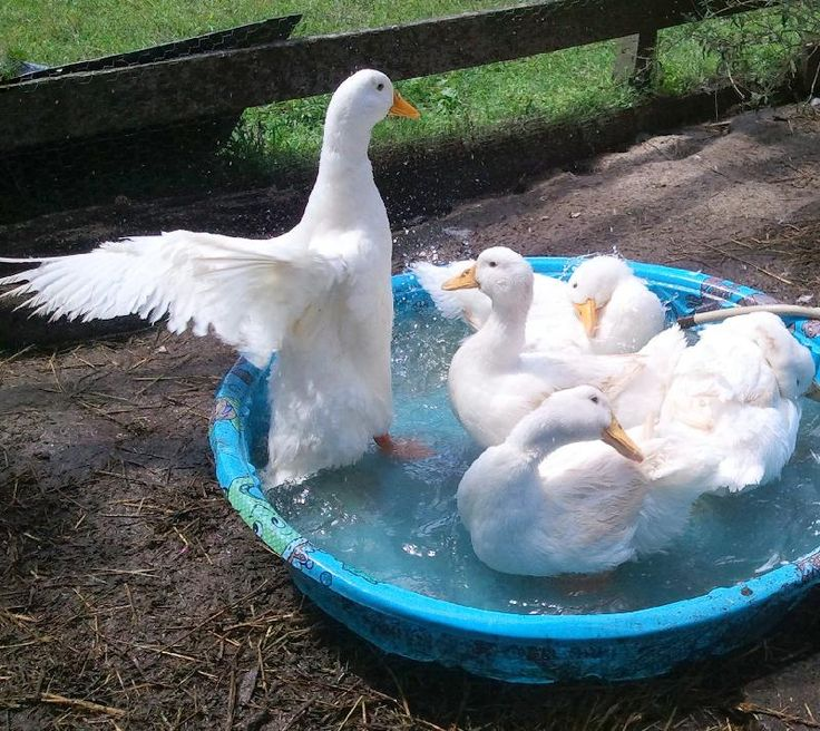 how to breed ducks on a farm pdf