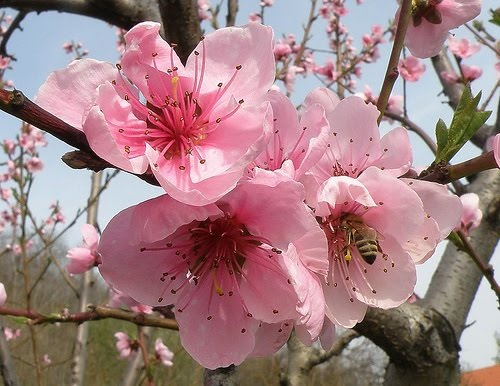 Peach Tree Flowers | flowers | Pinterest | Peach trees Peach Tree Flowers