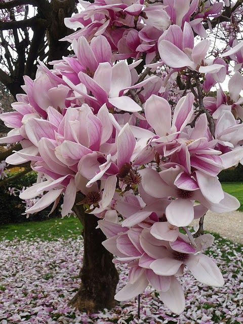 beautiful magnolia--my favorite flowering tree!